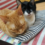 http://catcafe-shana.hp-tsukurumon.jp/wp-content/uploads/sites/3144/2017/05/header20170504232352_813799650.jpg
